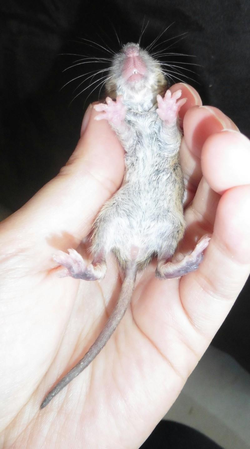 Sauvetages de 7 ratons sauvages - Page 3 0image34