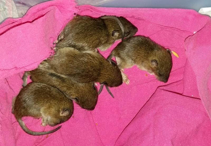 Sauvetages de 7 ratons sauvages - Page 3 20160316