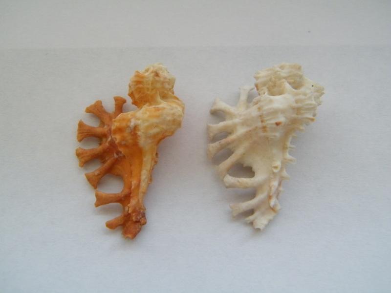 Homalocantha ninae - Merle & Garrigues, 2011 Dscf1815