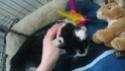 MACHA, très belle chatte junior de 8 mois, noire et blanche Dsc_0310