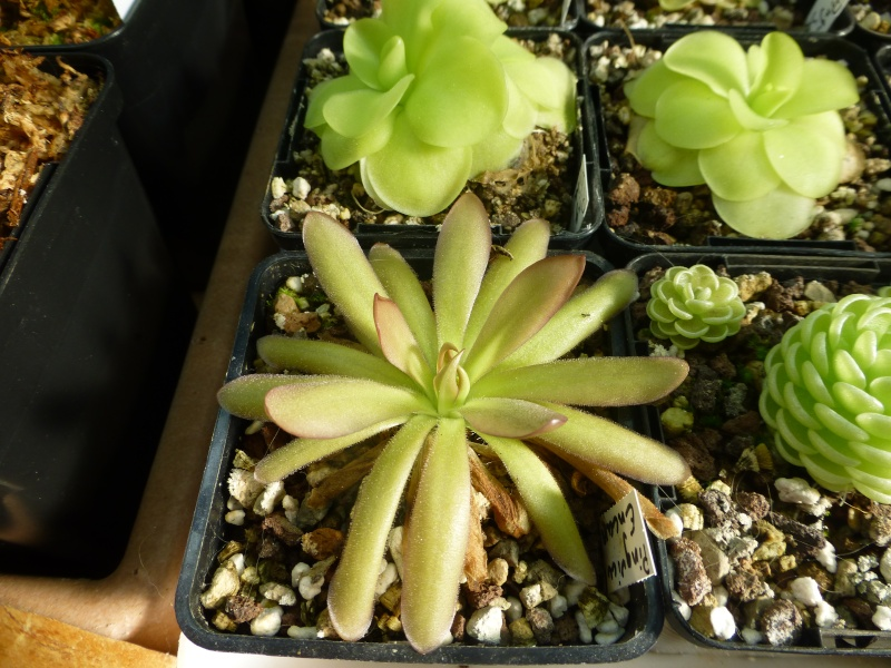 photos de pinguicula Encant10