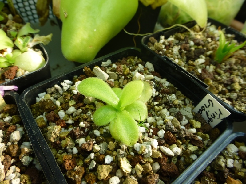 photos de pinguicula Gigant12