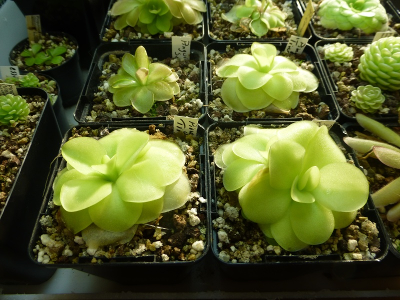 photos de pinguicula Tina_010