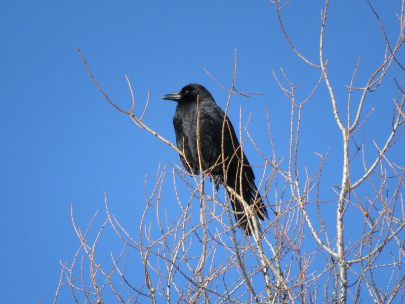 Corneille ou Grand corbeau?  Image13