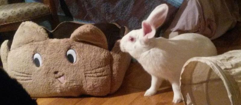 [ADOPTE] Binkie, jeune lapin de laboratoire à adopter 18562510