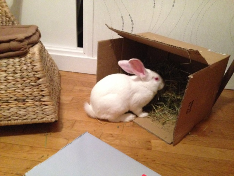 [ADOPTE] Berlioz, jeune lapin de laboratoire à adopter 20125810