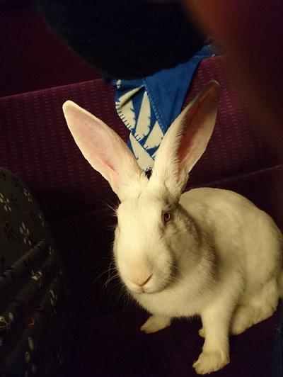 [ADOPTE] Baltic, jeune lapin de laboratoire à adopter 20481310