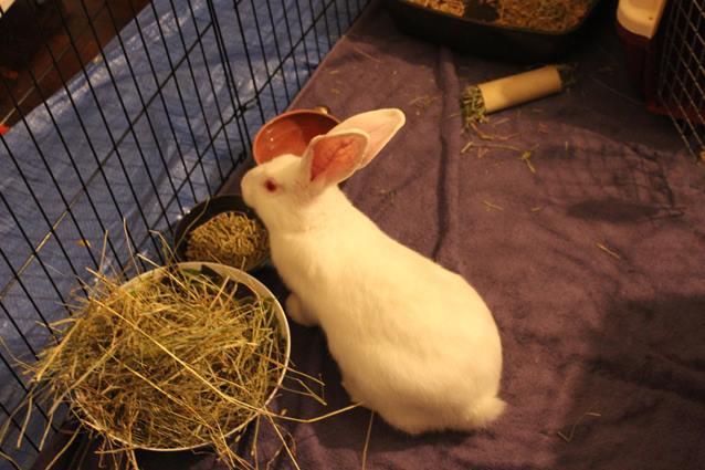[ADOPTE] Baloo, jeune lapin de laboratoire à adopter 22373710
