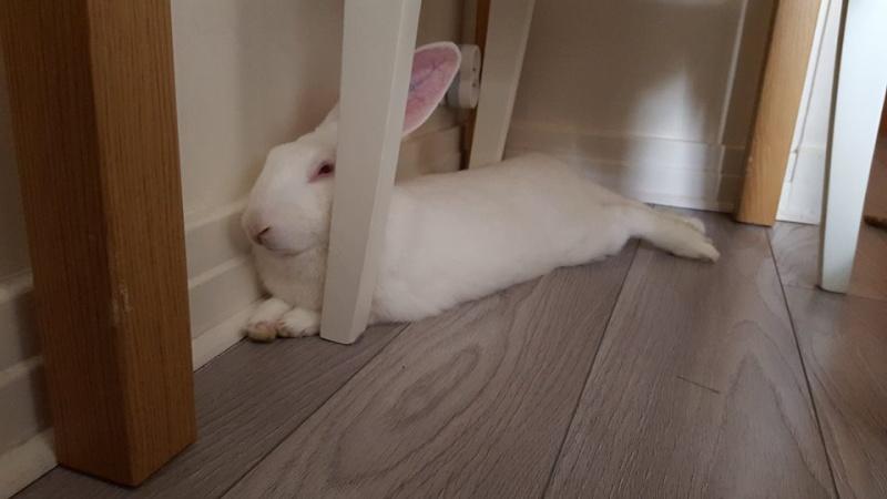 [ADOPTE] Baloo, jeune lapin de laboratoire à adopter 28883010