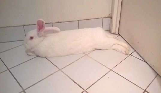 [ADOPTEE] Apple, lapine de laboratoire  29289010