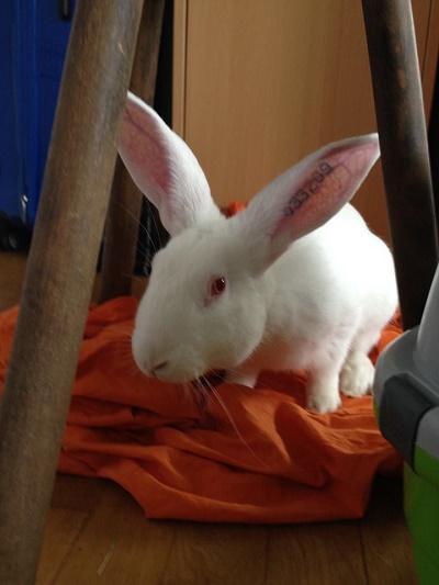 [ADOPTE] Berlioz, jeune lapin de laboratoire à adopter 32661310