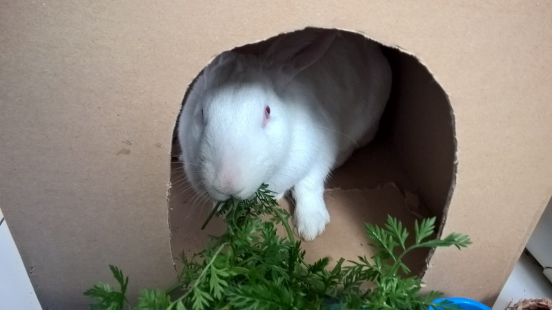 [ADOPTEE] Apple, lapine de laboratoire  36781010