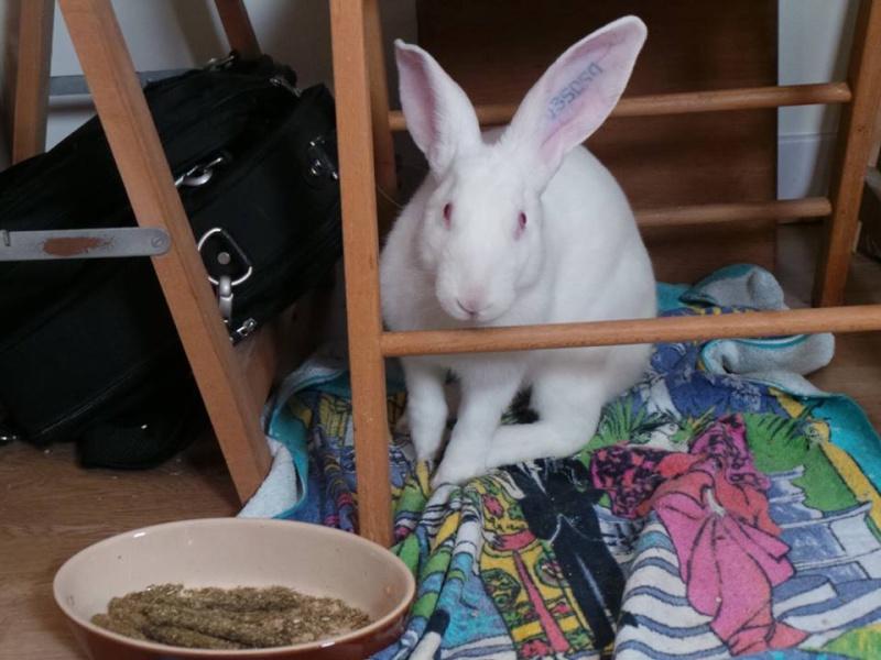 [ADOPTE] Buzz, jeune lapin de laboratoire à adopter 39266010