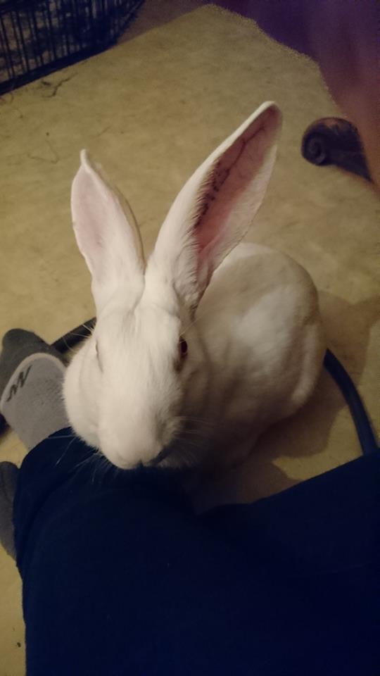 [ADOPTE] Baltic, jeune lapin de laboratoire à adopter 39393710