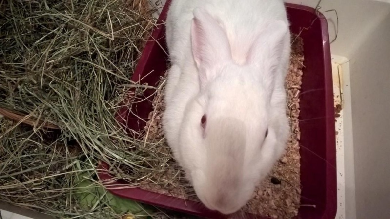 [ADOPTEE] Apple, lapine de laboratoire  41550610