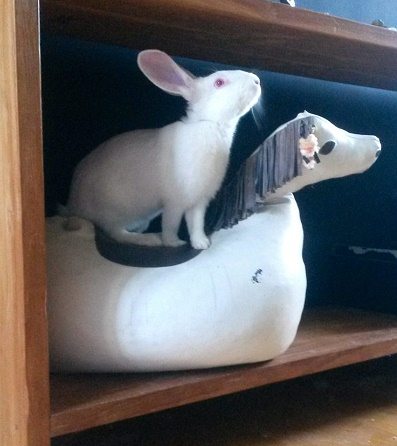 [ADOPTE] Binkie, jeune lapin de laboratoire à adopter 41870710