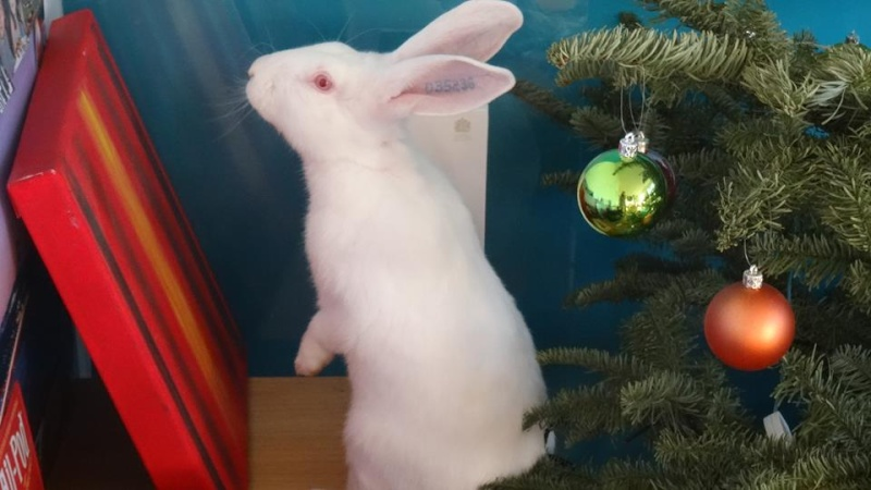 [ADOPTE] Buck, jeune lapin de laboratoire à adopter 54267210
