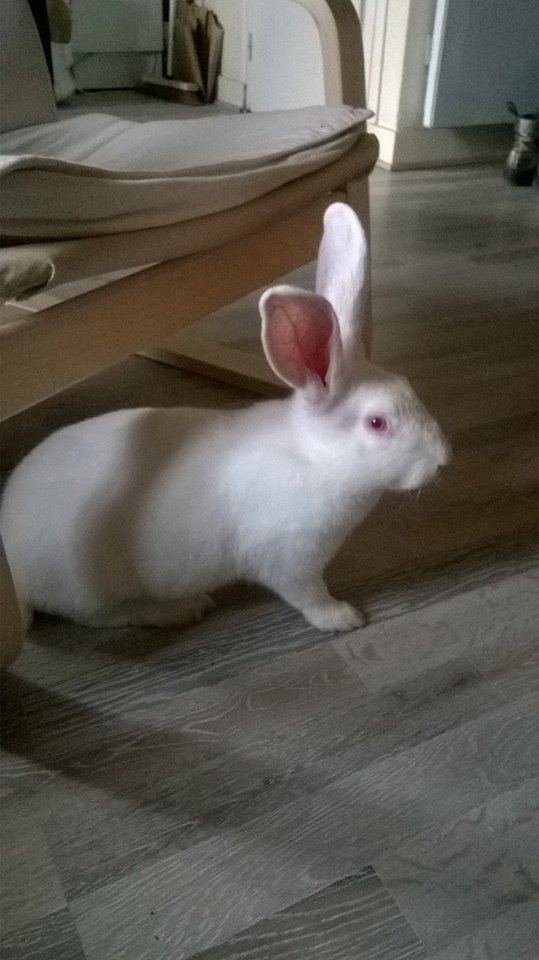 [ADOPTE] Buck, jeune lapin de laboratoire à adopter 56018910