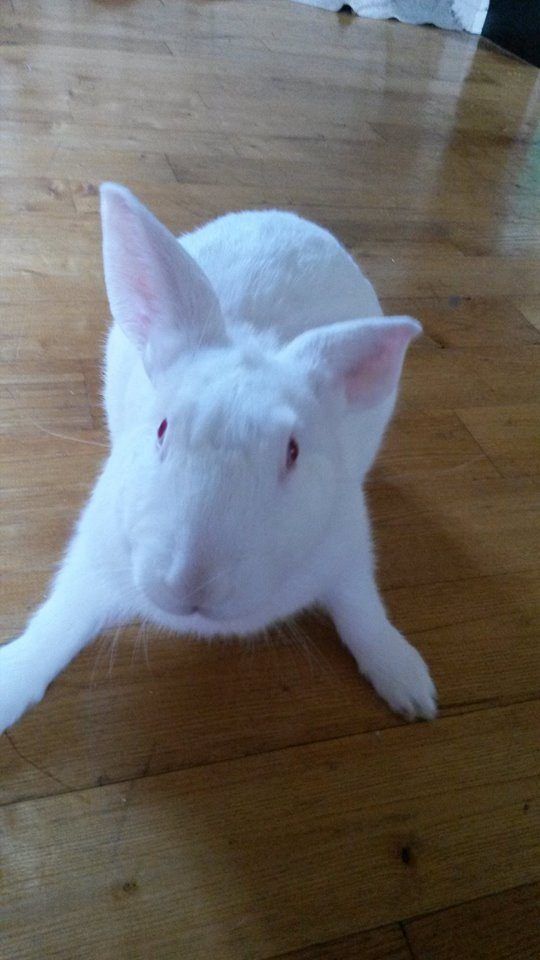 [ADOPTE] Binkie, jeune lapin de laboratoire à adopter 59190010