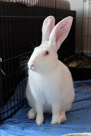 [ADOPTE] Baloo, jeune lapin de laboratoire à adopter 60343710