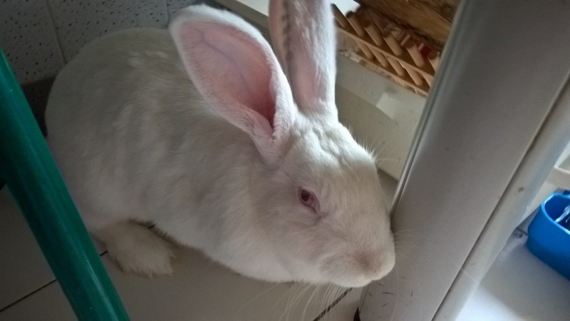 [ADOPTEE] Apple, lapine de laboratoire  63363610
