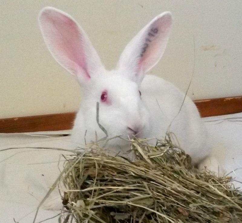 [ADOPTE] Binkie, jeune lapin de laboratoire à adopter 84730910