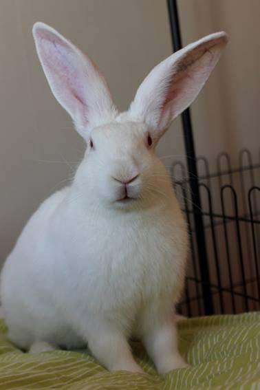[ADOPTE] Baloo, jeune lapin de laboratoire à adopter 87694410