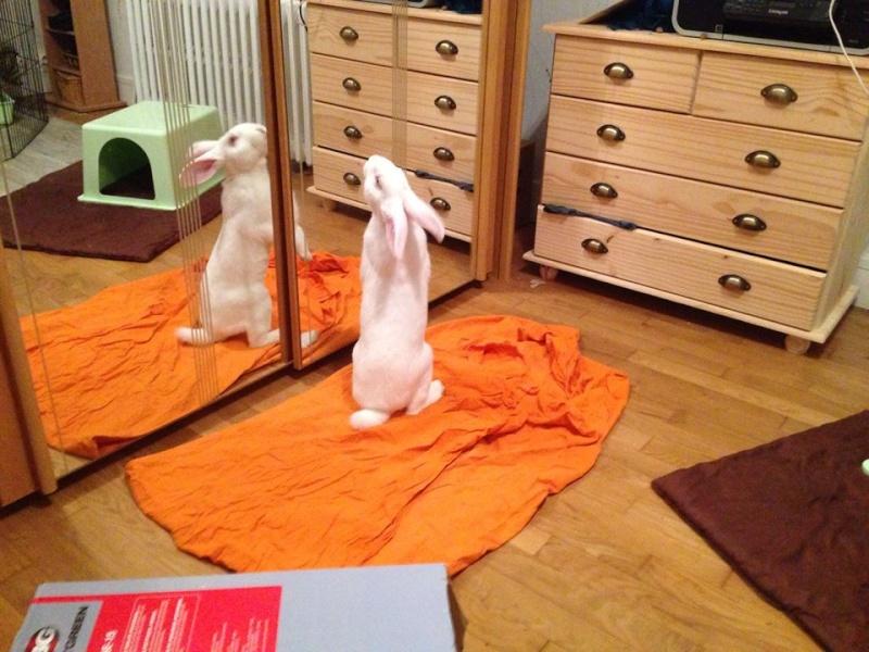 [ADOPTE] Berlioz, jeune lapin de laboratoire à adopter 91199510