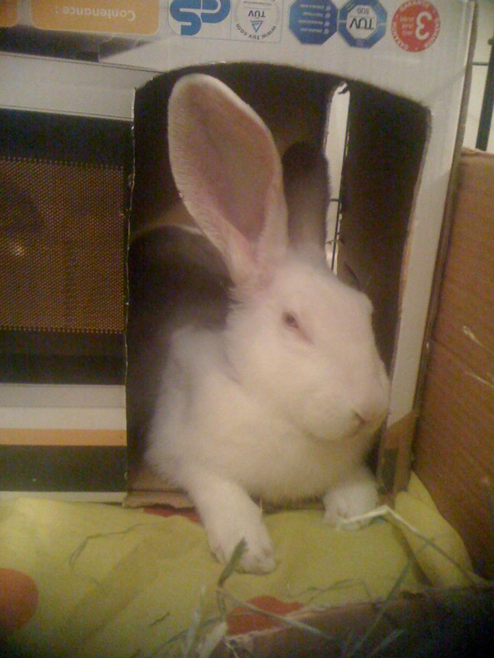 [ADOPTE] Baltic, jeune lapin de laboratoire à adopter 93016410
