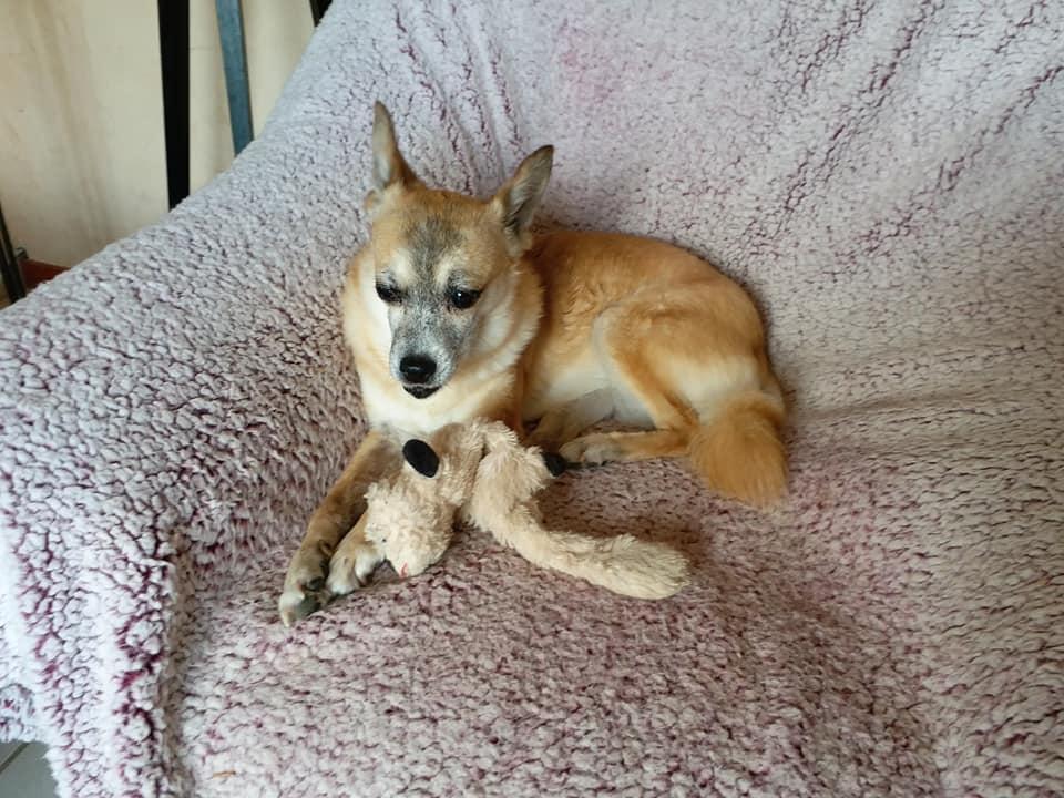 DELLA, femelle croisée chihuahua, née environ 2007, petite taille (refuge Anda et Alina) - adoptée par Danièle (dpt 82) - Page 10 Della_24