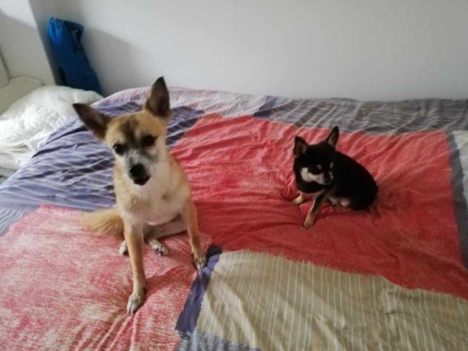 DELLA, femelle croisée chihuahua, née environ 2007, petite taille (refuge Anda et Alina) - adoptée par Danièle (dpt 82) - Page 10 Della_30
