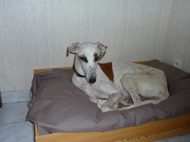 DELICIA galga blanche et bringée, 3 ans adoptée  P1000810