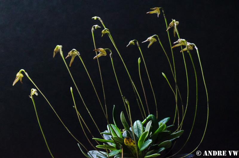 Miniatur-Orchideen Teil 3 - Seite 5 Porrog11