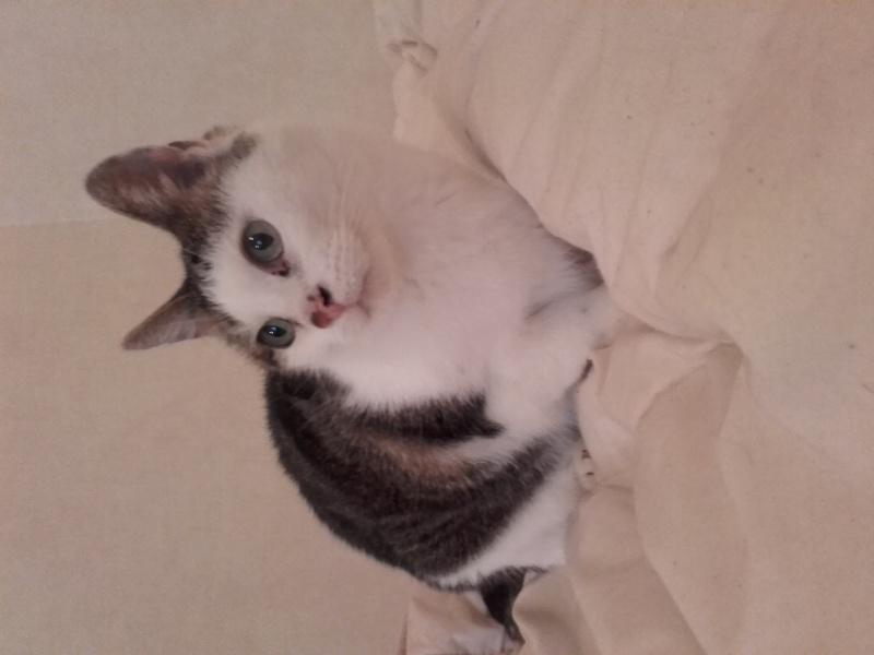 Poussy, femelle marron et blanche née le 1 juin 2002 20160210