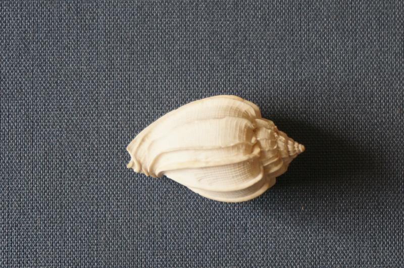 Harpidae - † Harpa (eocithara) mutica Lamarck, 1803 (GA 209-01) - Lutétien (Bassin Parisien) 00212