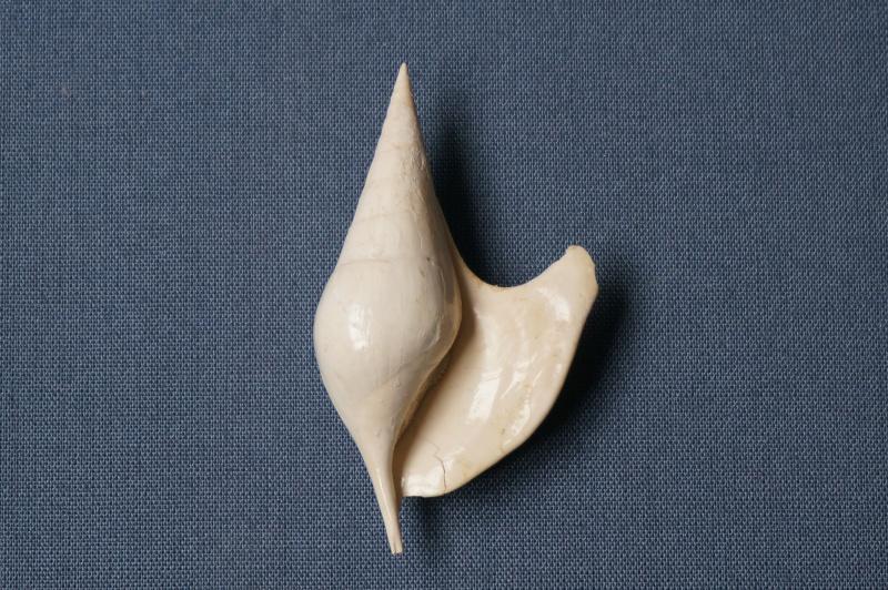 Strombidae - † Strombus fissura (Coquebert de Montbret & Brongniard, 1793)(GA 157-03) - Lutétien (Bassin Parisien) 00410