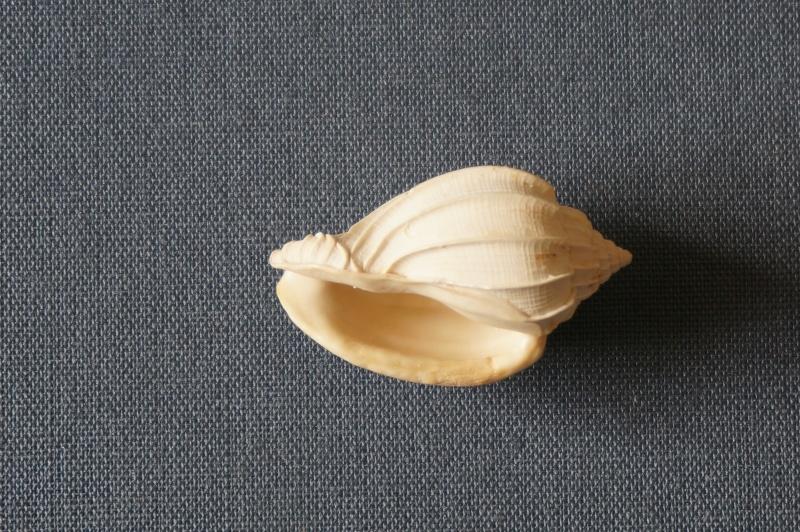 Harpidae - † Harpa (eocithara) mutica Lamarck, 1803 (GA 209-01) - Lutétien (Bassin Parisien) 00514