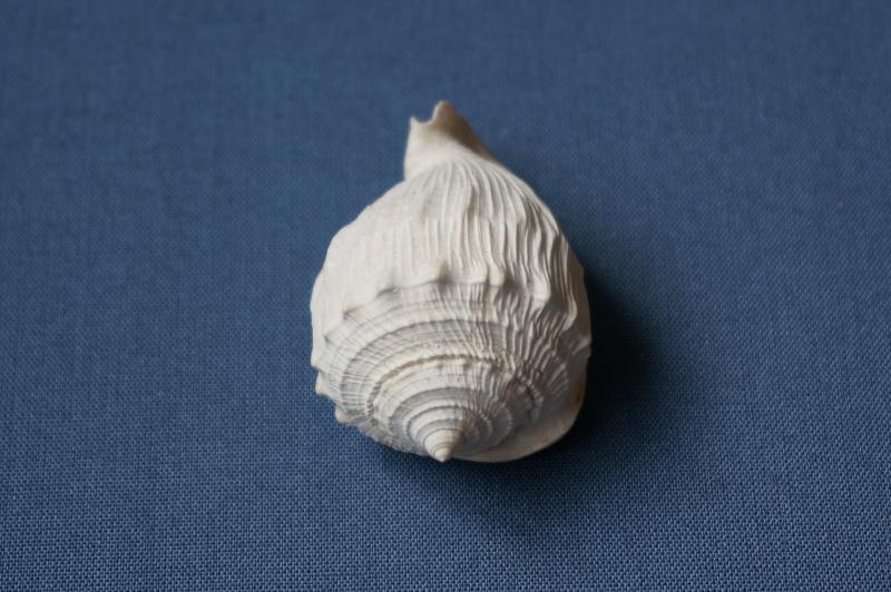 Cassidae - † Cassis (Morionella) verrucosa Perry, 1811 - Lutétien 00811