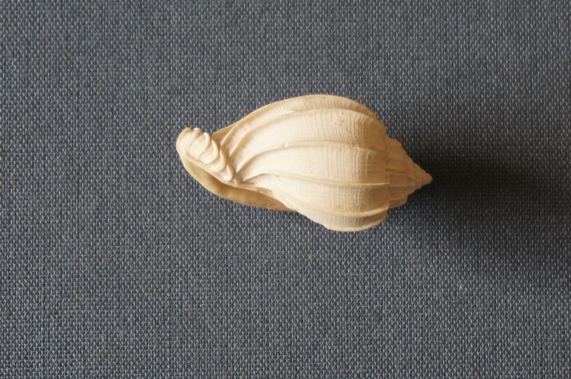 Harpidae - † Harpa (eocithara) mutica Lamarck, 1803 (GA 209-01) - Lutétien (Bassin Parisien) 00910