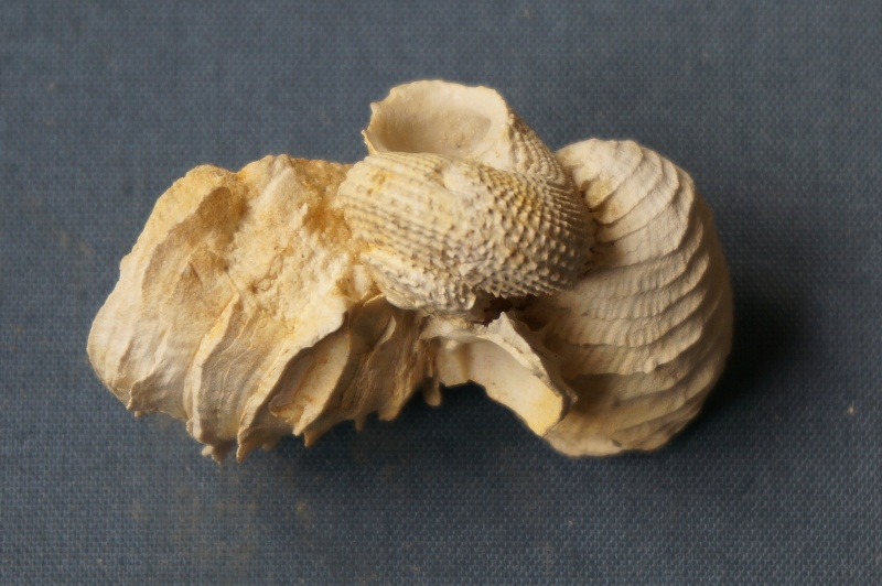 Turbinidae - † Angaria lima Lamarck, 1804 (GA 17-03) - Bartonien inf. (Bassin Parisien) 01110