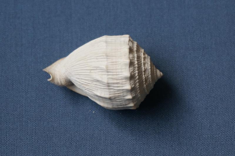 Cassidae - † Cassis (Morionella) verrucosa Perry, 1811 - Lutétien 01210