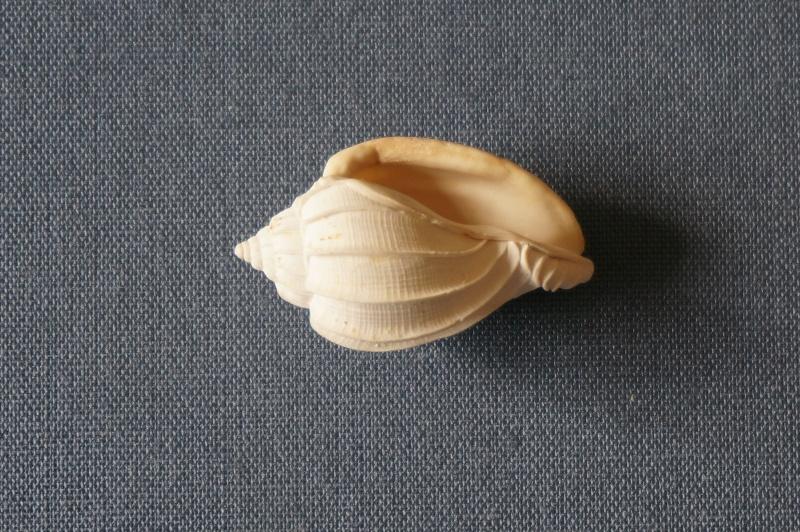 Harpidae - † Harpa (eocithara) mutica Lamarck, 1803 (GA 209-01) - Lutétien (Bassin Parisien) 01512