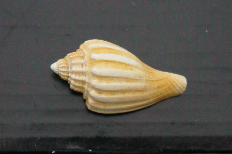Volutidae - † Athleta (Neoathleta) barrandii (voluta) Deshayes, 1865 - Bartonien (Bassin Parisien) 01810