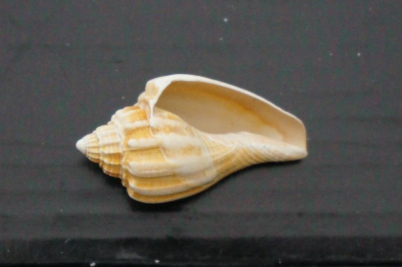 Volutidae - † Athleta (Neoathleta) barrandii (voluta) Deshayes, 1865 - Bartonien (Bassin Parisien) 01910