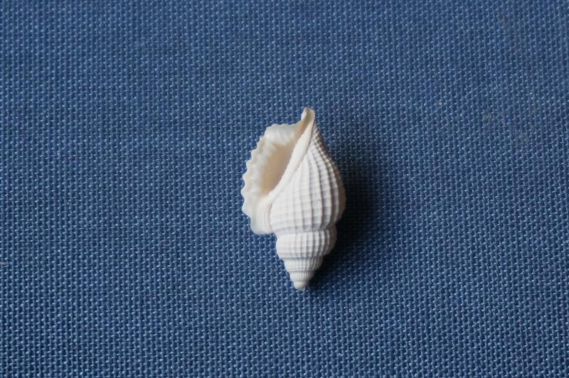 Strombidae - † Dientomochilus bartonensis ornatus (Deshayes, 1835) -  Lutétien / Bassin Parisien 02110