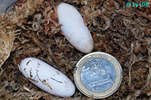 [Fiche] Tribolonotus gracilis 1010