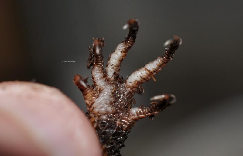 [Fiche] Tribolonotus gracilis 610