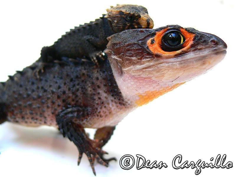 [Fiche] Tribolonotus gracilis 710