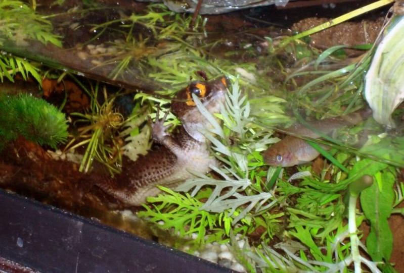[Fiche] Tribolonotus gracilis 910