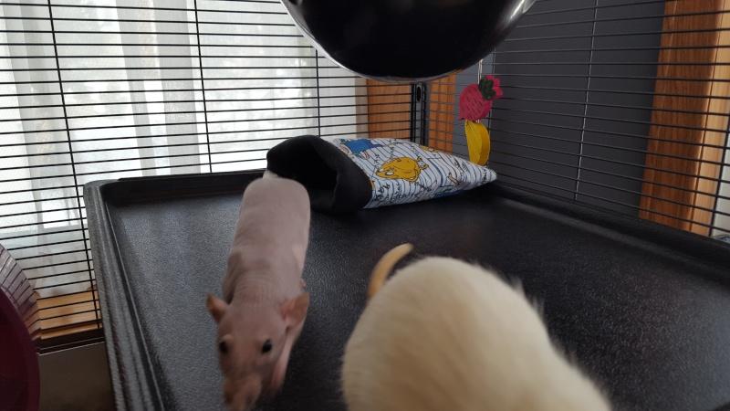 La cage Critter Nation de mes rattes . 20160317